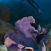 Purple Elephant Ear Sponge With Diver Art Print