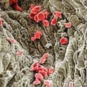 Red Blood Cells, Sem Art Print