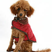 Red Toy Poodle Art Print
