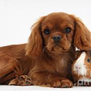 Ruby Cavalier King Charles Spaniel Pup Art Print