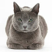 Russian Blue Cat Art Print