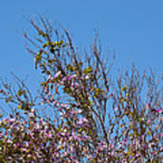 Saucer Magnolia Or Tulip Tree Magnolia X Soulangeana Art Print