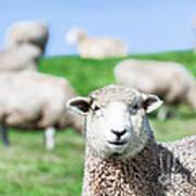 Sheeps Art Print by MotHaiBaPhoto Prints