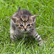 Small Kitten In The Grass Art Print