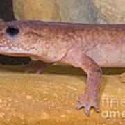 Spring Salamander Art Print