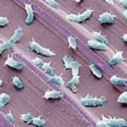 Stagnant Water Bacteria, Sem Art Print by Steve Gschmeissner