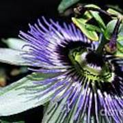 Stamen Of A Passionflower Art Print by Sami Sarkis