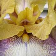 Tall Bearded Iris Named Butterfingers Art Print