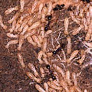 Termite Nest Reticulitermes Flavipes Print by Ted Kinsman