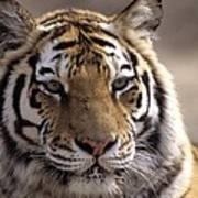 Tiger, Qinhuangdao Zoo, Hebei Province Art Print