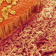 Trachea Lining, Sem Art Print