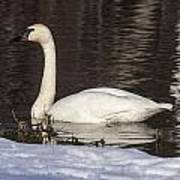 Trumpeter Swan Art Print