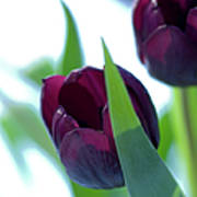 Tulip Flowers (tulipa Sp.) Art Print