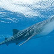Whale Shark, Ari And Male Atoll Art Print