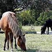 Wild Spanish Mustang Foal Art Print