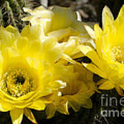Yellow Cactus Flowers Art Print