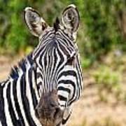 Zebras In The Masai Mara Art Print