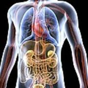Human Anatomy, Artwork Art Print