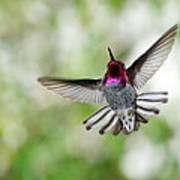 Anna's Hummingbird Art Print by Thy Bun