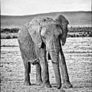 African Elephant In The Masai Mara Art Print