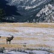 American Elk Cervus Elaphus Nelsoni Art Print