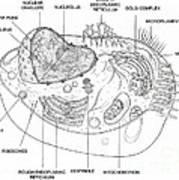 Animal Cell Diagram Art Print
