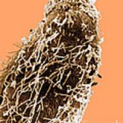 Bacteria On Sorghum Root Tip Art Print