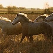 Camargue Horse Equus Caballus Group Art Print