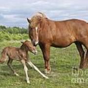 Chestnut Icelandic Horse With Newborn Foal Art Print