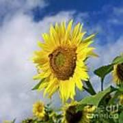 Close Up Of Sunflower Art Print by Bernard Jaubert