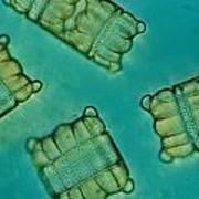 Close View Of Diatoms Art Print by Darlyne A. Murawski