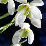 Common Snowdrop (galanthus Nivalis) Art Print