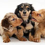 Dachshund Pups Art Print by Jane Burton