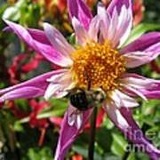 Dahlia Named Lorona Dawn Art Print