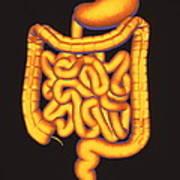 Digestive System Art Print
