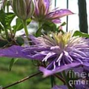 Double Clematis Named Crystal Fountain Art Print