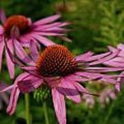 Eastern Purple Coneflower Art Print
