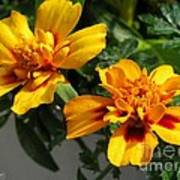 French Marigold Named Starfire Art Print
