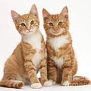Ginger Kittens Art Print