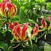 Gloriosa Named Rothschildiana Art Print