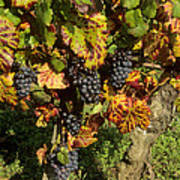 Grapes Growing On Vine Art Print by Bernard Jaubert