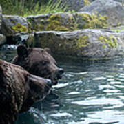 Grizzly Bear Or Brown Bear Art Print