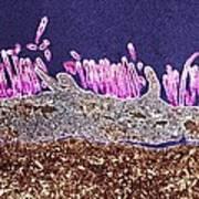 H1n1 Swine Flu Virus, Tem Art Print