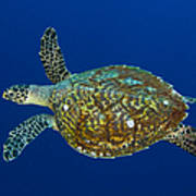 Hawksbill Sea Turtle, Kimbe Bay, Papua Art Print