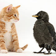 Jackdaw And Kitten Art Print