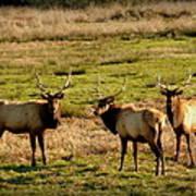 3 Magnificent Bull Elk Art Print