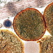 Mitochondria Art Print by Steve Gschmeissner