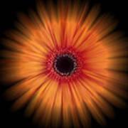 Orange Gerbera Daisy On Black Art Print