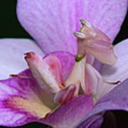 Orchid Mantis Hymenopus Coronatus Art Print