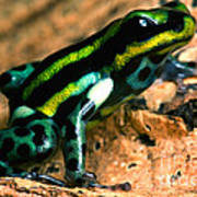 Pasco Poison Frog Art Print